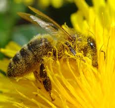using bees as a source of income for pollination